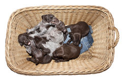 German shorthaired pointer puppy, three weeks old Royalty Free Stock Photos