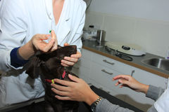 German Shorthaired Pointer Puppy at vet Stock Images