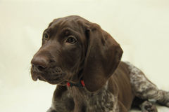 German Shorthaired Pointer puppy Royalty Free Stock Photos