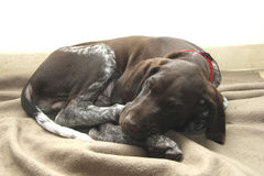 German Shorthaired Pointer puppy Stock Images