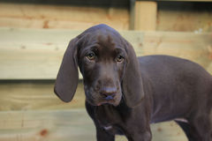German Shorthaired Pointer Puppy Stock Photography
