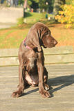 German Shorthaired Pointer Puppy Royalty Free Stock Images
