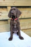 German Shorthaired Pointer Puppy Royalty Free Stock Photo