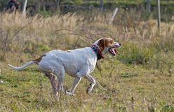 German Shorthaired Pointer on running Royalty Free Stock Image