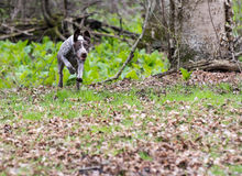 German shorthaired pointer Stock Image