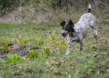 German shorthaired pointer Royalty Free Stock Image