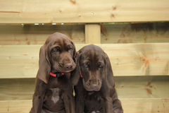 German Shorthaired Pointer Sisters Stock Photos