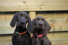 German Shorthaired Pointer Sisters Stock Photo