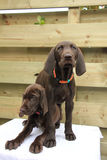 German Shorthaired Pointer Sisters Stock Images