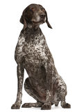 German Shorthaired Pointer, sitting Stock Photography