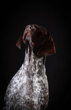 German shorthaired pointer Royalty Free Stock Photos