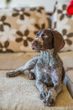 German Shorthaired Pointer sitting on sofa Stock Photo