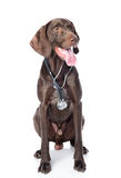 German Shorthaired Pointer with a stethoscope on his neck. Stock Photos