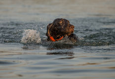 German shorthaired pointer swimming Stock Images