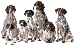 German shorthaired pointers Stock Images