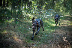 German shorthaired pointers Stock Photography