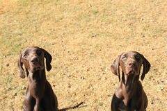 German Shorthaired Pointers Royalty Free Stock Photo