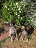 German Shorthaired  Pointers Royalty Free Stock Images