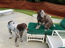 German Shorthaired Pointers Stock Photos