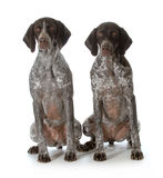 German shorthaired pointers Royalty Free Stock Photography