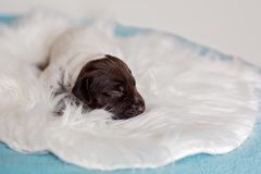 German Shorthaired Puppy stock photos
