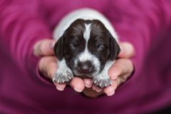 German Shorthaired Puppy stock photo