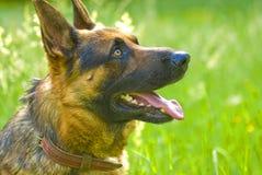 German Shpherd dog Stock Photo