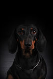 German smooth-haired Dachshund Stock Photography