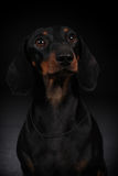 German smooth-haired Dachshund Stock Image