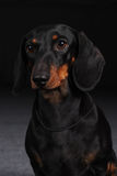 German smooth-haired Dachshund Stock Photos