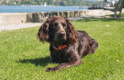 German spaniel dog. Portrait of a german spaniel dog laying in the grass near the lake stock photography
