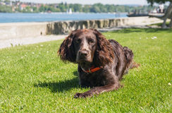 German spaniel dog royalty free stock photo