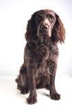 German spaniel dog Stock Photo