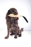 German spaniel dog Royalty Free Stock Photos