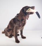 German spaniel dog Royalty Free Stock Image
