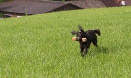 German spaniel dog wachtel Stock Images
