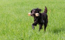 German spaniel dog wachtel Stock Image