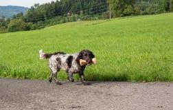 German spaniel dog wachtel Royalty Free Stock Image