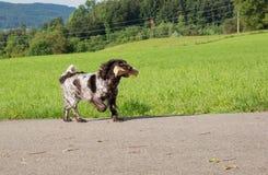 German spaniel dog wachtel Stock Photo