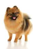 German Spitz Royalty Free Stock Photography