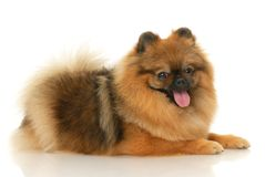 German Spitz Stock Images