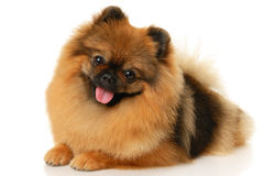 German Spitz Stock Photos