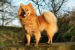 German Spitz. Standing on a wooden plank Royalty Free Stock Photography
