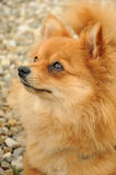 German spitz Royalty Free Stock Photo