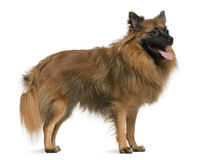 German spitz, 7 years old, standing stock images