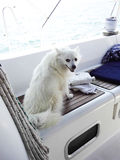 German spitz. Beautiful white german spitz on a sailing boat Royalty Free Stock Images