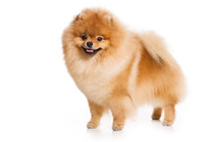 German Spitz dog Royalty Free Stock Photo
