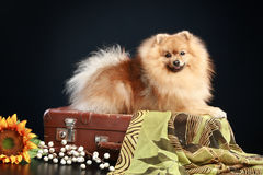 German Spitz dog Royalty Free Stock Image