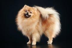 German Spitz dog Royalty Free Stock Image