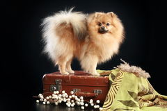 German Spitz dog Stock Photo